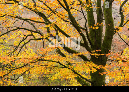 Beech tree with autumnal leaves, Teign Valley, Dartmoor, Devon, England. Autumn (November) 2014. - Stock Photo