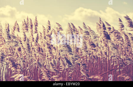 Retro filtered dry reeds nature background. - Stock Photo