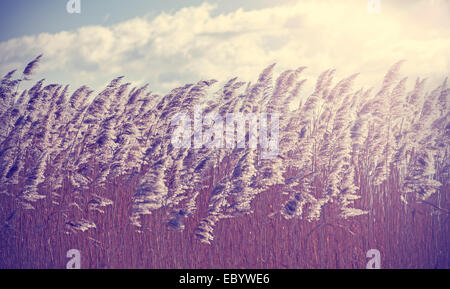 Retro vintage filtered dry reeds nature background. - Stock Photo