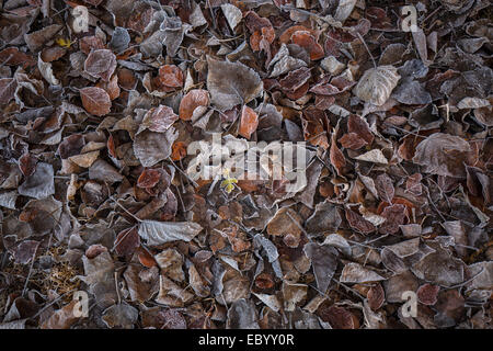Frosty dead leaves on the ground in winter. - Stock Photo
