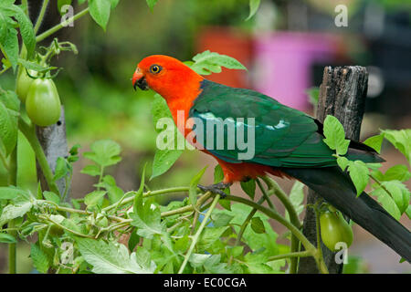 Spectacular vivid red & green Australian male king parrot, a wild bird, on tomato plants, about to feast on green fruit in a home garden