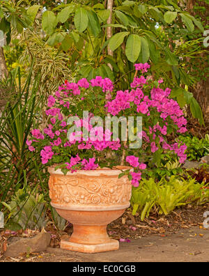 Bambino bougainvillea 'Bokay' with masses of vivid red / pink flowers growing in large decorative terracotta container - Stock Photo