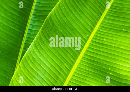 Banana tree leafs. Hawaii Tropical Botanical Garden, Big Island, Hawaii, USA. - Stock Photo