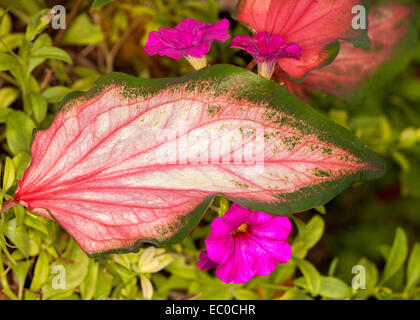 Unusual & beautiful caladium leaf with vivid red veins on large pink arrow-shaped leaf with green edges - Stock Photo
