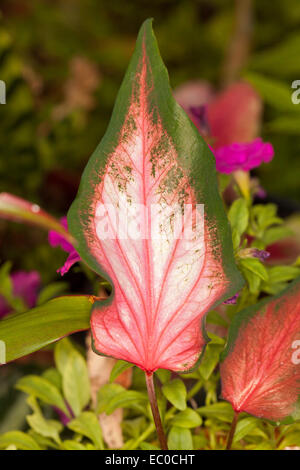Unusual & beautiful caladium leaf with vivid red veins on large pink arrow-shaped leaf with wide green edges - Stock Photo