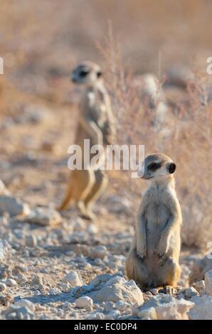Young male meerkat (Suricata suricatta), along a gravel road, Kgalagadi Transfrontier Park, Northern Cape, South - Stock Photo