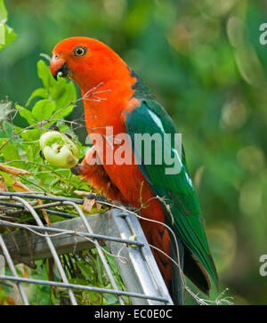 Spectacular vivid red & green Australian male king parrot, a wild bird, eating green tomato held in raised claw in home garden