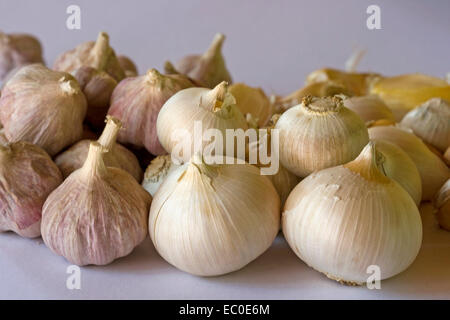 Cluster of freshly harvested bulbs of giant Russian / elephant garlic by smaller ones of red Italian garlic on pale background Stock Photo