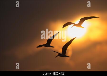 African skimmer (Rynchops flavirostris), in flight, Chobe national park, Botswana, - Stock Photo