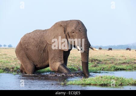 African elephant (Loxodonta africana) in water, Chobe National Park, Botswana, - Stock Photo