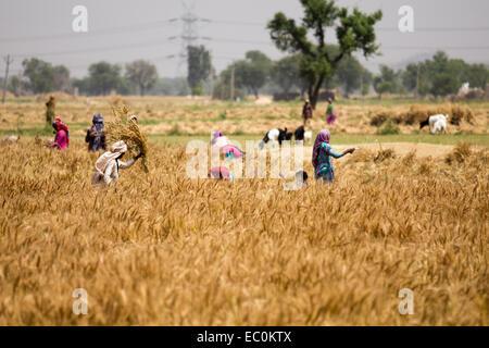 Gathering grain in Rajasthan, India - Stock Photo