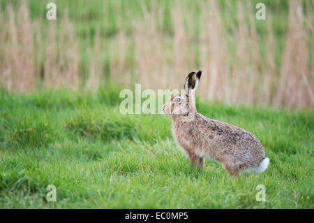 European Brown Hare (Lepus europaeus) in a meadow, UK. - Stock Photo