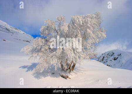 Silver Birch Tree, Betula pendula. Frost covered in snowy landscape. Pyrenees. Spain - Stock Photo