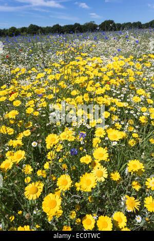 Wildflowers, including corn marigold (Glebionis segetum) and cornflowers (Centaurea cyanus), being grown for seed - Stock Photo