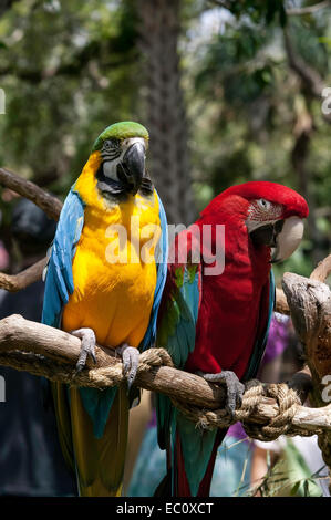 Front view of a pair of captive Macaws, Blue and Gold, and Green Wing, standing side by side on a perch in the Alligator - Stock Photo