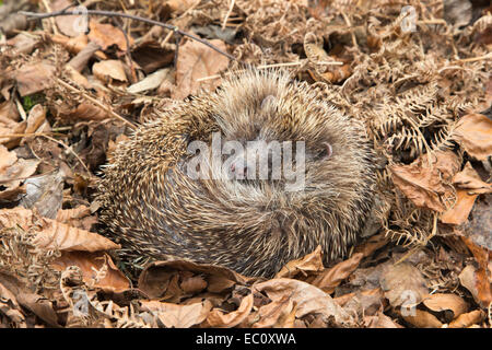 Hedgehog (Erinaceus europaeus) sleeping in autumn leaves, captive, UK - Stock Photo