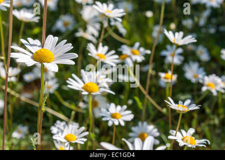 The Ox-eye Daisy, Leucanthemum vulgare, is a common wildflower in the UK. - Stock Photo