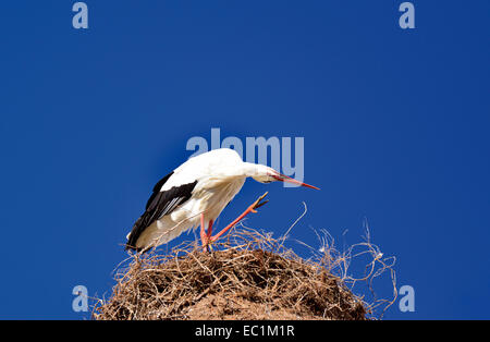 Portugal, Algarve: Stork nest with white stork (Ciconia ciconia) scratching his head - Stock Photo