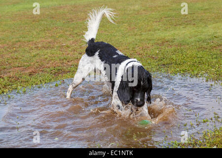 Black and White English Springer Spaniel dog chasing a ball in to a puddle of water. England, UK, Britain - Stock Photo