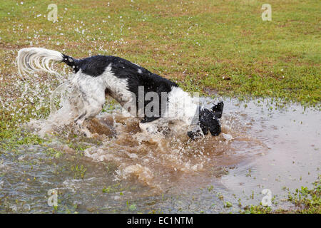 An adult Black and White English Springer Spaniel dog splashing in a puddle of water in a park. England, UK, Britain - Stock Photo