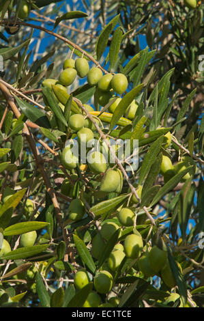 Olive tree - olives, Jaen province, Region of Andalusia, Spain, Europe - Stock Photo