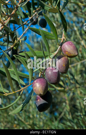 Olive tree, Jaen province, Region of Andalusia, Spain, Europe - Stock Photo