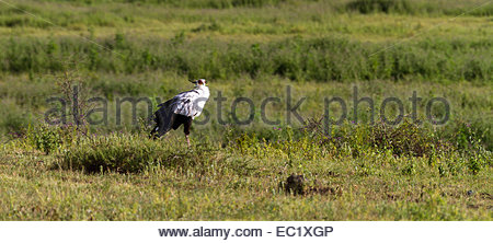 Secretary bird in grassland - East Africa - Tanzania - Stock Photo