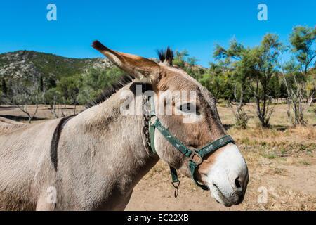 Donkey (Equus africanus asinus), Corsica, France - Stock Photo