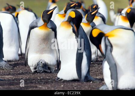 King penguins (Aptenodytes patagonicus), adult birds and chick, Volunteer Point, East Falkland, Falkland Icelands, - Stock Photo