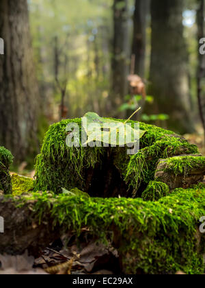 Dead leaf lying on moss-grown tree stump in the forest - Stock Photo