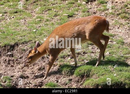 Female Reeve's muntjac deer (Muntiacus reevesi) drinking water - Stock Photo