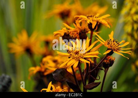 Close up of flowering Ligularia 'Britt-Marie Crawford' in a bog garden - Stock Photo