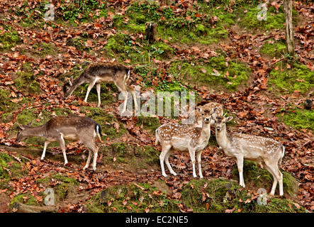'Hide 'n' seek' with the deer on Titaros mountain, close to Aghios Demetrios village, Pieria, Macedonia, Greece. - Stock Photo