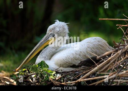 Krauskopfpelikan, (Pelecanus crispus), Europa, adult, Nest, bruetend, Pelikane  Dalmatian Pelican, (Pelecanus crispus), - Stock Photo