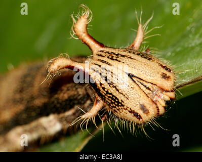 Close-up of the exotic looking caterpillar of the South American Forest Giant Owl Butterfly (Caligo eurilochus) - Stock Photo