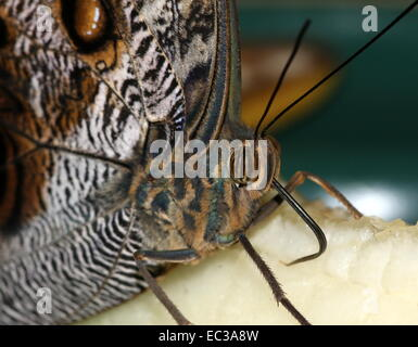 Forest Giant Owl Butterfly (Caligo eurilochus) extreme close-up of the head and eyes - Stock Photo