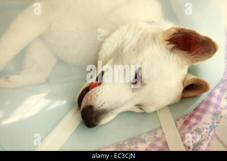 Young white shepherd dog under anesthesia, 8 months old - Stock Photo