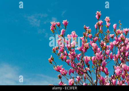 Magnolia in front of blue horizont - Stock Photo