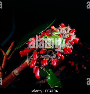 Mimicry - Italian tree frog (Hyla intermedia) on an inflorescence of magnolia with seeds - Stock Photo