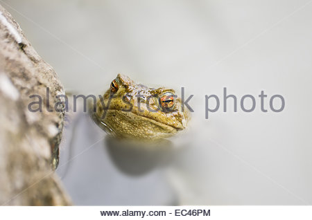Common Toad, Bufo bufo, in a pond - Stock Photo