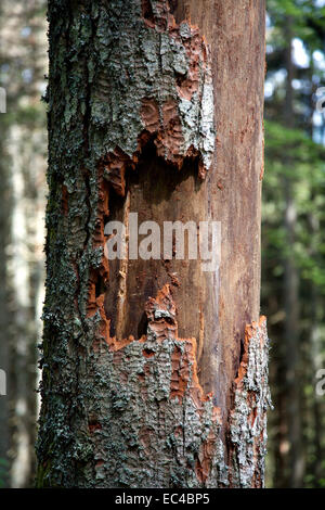 Dead spruces through infestatin of a bark beetles, black forest, germany - Stock Photo