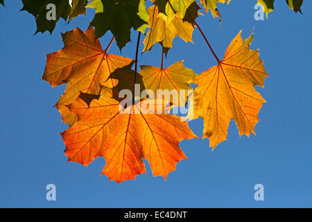 Norway Maple in autumn Acer platanoides , Lower Saxony, Germany - Stock Photo