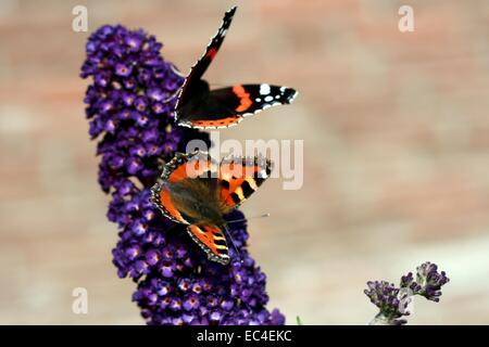 Two butterflies on lilac branch - Stock Photo
