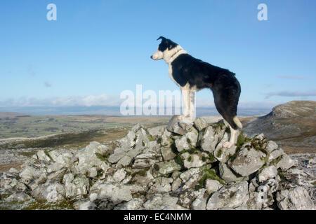 Border collie sheepdog standing on rocks on moorland. Cumbria, UK - Stock Photo