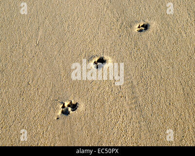 Dog Trace in Wet Sand, Schleswig Holstein, Germany - Stock Photo