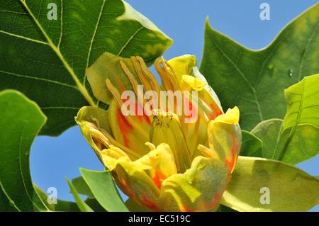 tulip tree blossom - Stock Photo