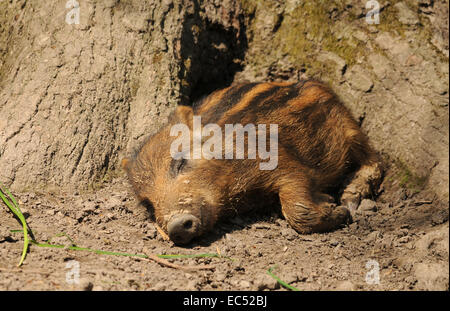 piglet sleeping - Stock Photo