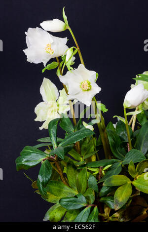 Christmas Rose - Stock Photo