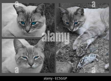 Three photographs of a cat assembled in a collage - Stock Photo