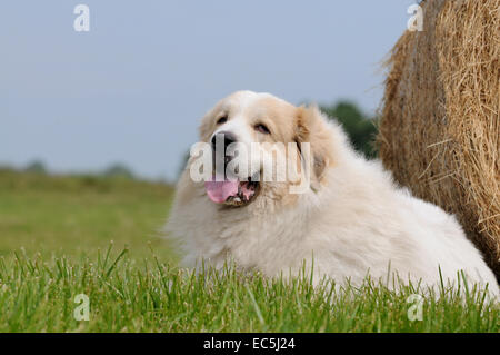 Great Pyrenees - Stock Photo